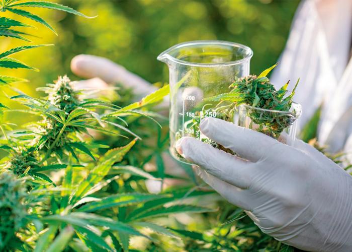 THC-ს კვლევა და გამოყენება დღევანდელობაში