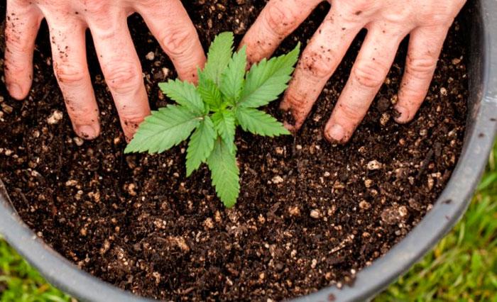 მცენარის გადარგვის ვარიანტები rastaman007 - ისგან